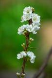 Plum Blossom Royaltyfria Foton