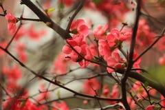 Plum Blossom Fotografia Stock Libera da Diritti