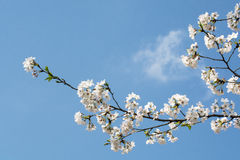 Plum Blossom Photo stock