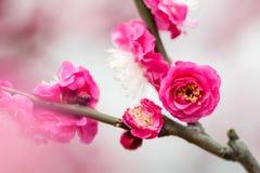 Plum Blossom Fotografia de Stock