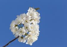 Plum Blossom Fotografia Stock