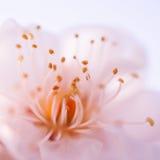 Plum Blossom Photos libres de droits