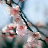 Plum Blossom foto de stock royalty free