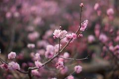 Plum Blossom fotografia de stock royalty free