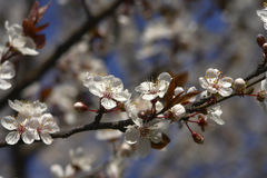 Plum blossom. Plum tree stock images