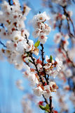 Plum Blossom Royaltyfri Bild