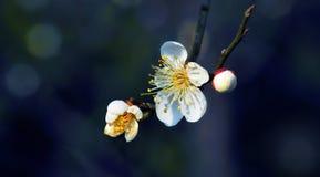 Plum Blossom Royaltyfri Foto
