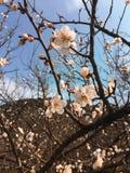 Plum Blossom Foto de archivo