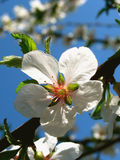 Plum blossom. (detail stock images