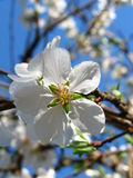 Plum blossom. (detail Royalty Free Stock Photography