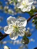 Plum blossom. (detail Royalty Free Stock Photos