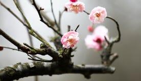 Plum Blossom Photo libre de droits