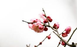 Plum Blossom Image libre de droits