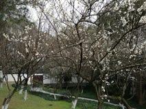 Plum Blossom Royalty-vrije Stock Afbeelding