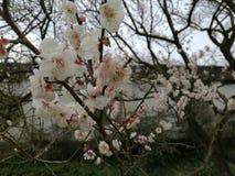 Plum Blossom Royalty-vrije Stock Foto