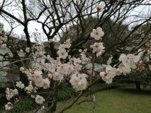 Plum Blossom Royalty-vrije Stock Afbeeldingen