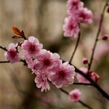 Plum Blossom Stockfotos