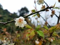 Plum Blossom Lizenzfreies Stockfoto