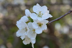 Plum Blossom stock fotografie