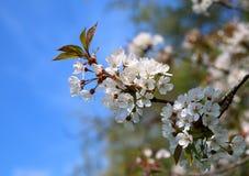 Plum Blossom Foto de Stock