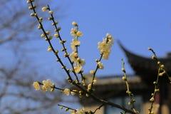 Plum Blossom Imágenes de archivo libres de regalías