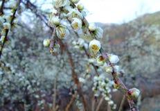 Plum Blossom imagens de stock royalty free