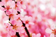 Plum blossom. Pink plum flower blossom in spring Royalty Free Stock Photos