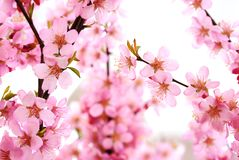 Plum blossom. Pink plum flower blossom in spring Stock Photography