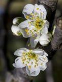 Plum Blossom Immagine Stock Libera da Diritti
