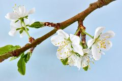 Plum blossom against a blue background. Branch with white plum blossom and fresh green leaves in spring against a pastel light blue background royalty free stock photography