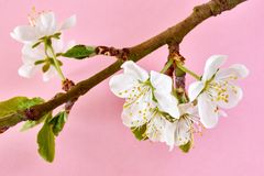Plum blossom against a pink background. Branch with white plum blossom and fresh green leaves in spring against a pastel pink background stock photos