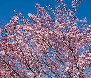 Plum Blossom big file Stock Photography