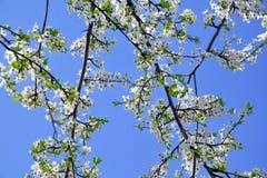 Plum Blossom Bloom Tree White Pink Stock Photo. Plum Blossom Bloom Tree White Pink Blue Sky Stock Photo stock image
