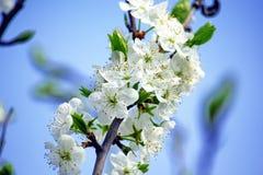 Plum Blossom Bloom Tree White Pink Stock Photo. Plum Blossom Bloom Tree White Pink Blue Sky Spring Stock Photo stock photography