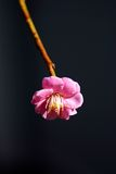 Plum blossom. S bloom around February every year in Japan Stock Image