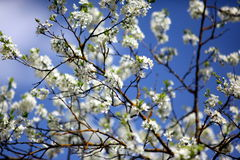 The plum blossom Royalty Free Stock Photos
