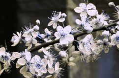 Plum Blossom Blue and White stock photo