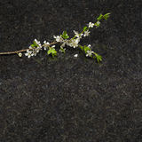Plum blossom branch on Antique Brown granite countertop Stock Photography