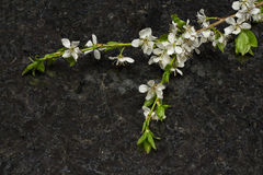 Plum blossom branch on Antique Brown granite countertop Royalty Free Stock Photography