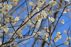 Plum Blossom On Branch With Blue Sky Background Stock Photo