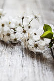 Plum in blossom Royalty Free Stock Images