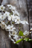 Plum in blossom Stock Photo