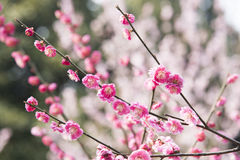 Plum blossom branches red flower Stock Image