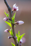 Plum blossom bud Royalty Free Stock Photos