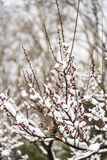 The Plum Blossom buds are getting ready to burst Royalty Free Stock Photo