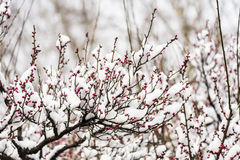 The Plum Blossom buds are getting ready to burst stock image