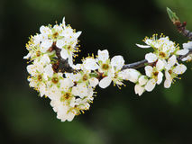 Plum blossom bunch. A sprig of white plum blossoms against a dark background herald the arrival of spring Royalty Free Stock Image