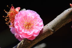 Plum Blossom. Chinese flower during lunar new year Royalty Free Stock Photos