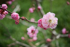 Plum blossom Stock Photos