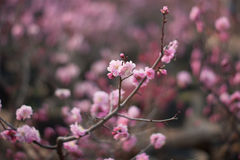 Plum blossom. Close up of a few plum blossom flowers royalty free stock photography
